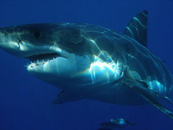 Gran-tiburon-blanco